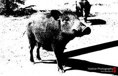 Wildbore (Hashan Photography) Tags: pet animals couple srilanka mammals wildbore hashan hashanphotography