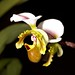 Paph. spicereanum – Merle Robboy