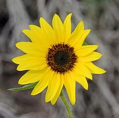 Maximilian Sunflower (Pat's Pics36) Tags: statepark yellow texas yellowflower sunflower westlaco maximiliansunflower helianthusmaximiliani esterollanograndestatepark nikond7000 nikkor18to200mmvrlens
