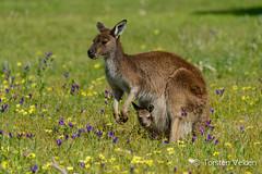 Kangaroo and Joey (Torsten Velden) Tags: blue trees brown green nature animal landscape one flickr symbol joey wildlife australia kangaroo southaustralia coffinbay eyrepeninsula submitgetty