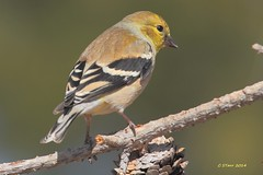 097 american gold finch (starc283) Tags: bird nature canon birding finch americangoldfinch