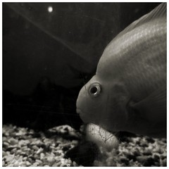 Fear of  the cracks (FearfulStills) Tags: fish danger tank crack frown lurking parrotfish