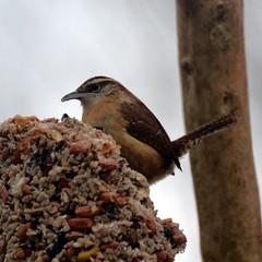 The Angry Bird Look (Tobyotter) Tags: bird wren carolinawren