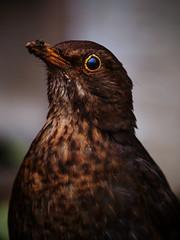 Blackbird (davepickettphotographer) Tags: wild bird nature naturalhistory blackbird naturalworld cambridgeshire huntingdon buckden huntingdonshire