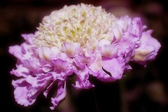 Scabious - Pink Mist (Paul Sibley) Tags: pink white flower photoaday scabious nikond60 3652014