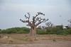 Le baobab à l