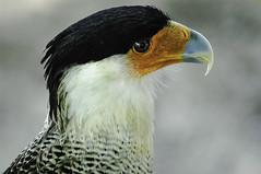 C2004-Caracara (Eduardo Arias Rábanos) Tags: bird eye look animals sex ojo nikon wing beak feather sexo ave pico ala animales pluma fowl d100 mirada caracara eduardoarias eduardoariasrábanos