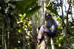 Thomas Leaf Monkey 4678 (Ursula in Aus) Tags: animal sumatra indonesia unesco bukitlawang gunungleusernationalpark earthasia sumatrangrizzledlangur thomasslangur presbytisthomasi thomasleafmonkey