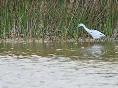 Little Blue Heron immature 20140416 (Kenneth Cole Schneider) Tags: florida wetlands miramar