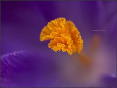 crocus impression (kimbenson45) Tags: macro yellow closeup centre shallowdepthoffield purplecrocus flowerscolors differentialfocus