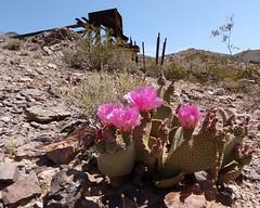 113 Cactus Flowers - Inyo Stamp Mill (saschmitz_earthlink_net) Tags: california flowers nationalpark desert deathvalley wildflowers mojavedesert 2014 beavertailcactus stampmill echocanyon opuntiabasilaris inyocounty funeralmountains inyomine