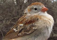Field Sparrow (Spizella pusilla) (Buhndi) Tags: canada bird quebec montreal birding sparrow migration banding fieldsparrow spizellapusilla passerine fisp