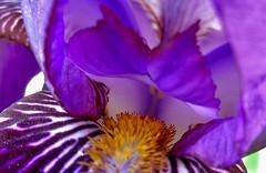 Beauty in a Iris (trins) Tags: iris flower closeup spring purple purpleflower fineartphotography beardediris vancouverwa purpleiris beautifuliris irisflower springphoto closeupofapurpleiris