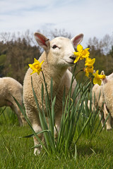 Its the weekend - stop and take time to smell the flowers. (Freshairphotography) Tags: flowers flower cute beautiful beauty field grass spring sheep farm daffodil lamb graceful farmanimal springflowers grazing springtime newborns springflower beautifulbc centralsaanich farmbaby northcountrycheviot dogwoodfarms