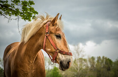 Belgian Beauty (Jen MacNeill) Tags: portrait horse storm beauty museum pennsylvania pa valley lancaster belgian halter equine draft landis palomino