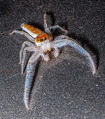 "Hentzia mitrata or ""Headdress Jumper"", male (ScreaminScott) Tags: spider jumping arachnid"