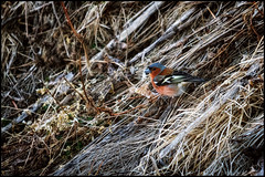 (Jonas Thomn) Tags: bird grass straw hay fink fringillacoelebs chaffinch fgel grs commonchaffinch h bofink