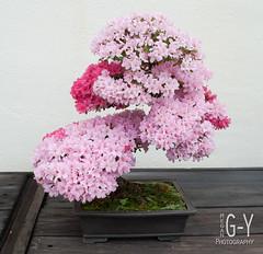 azalea penjing (M Greenwald-Yarnell) Tags: miniature bonsai azalea nationalarboretum penjing