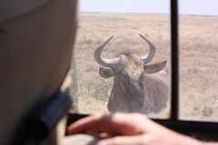 Wildebeest Waits for a Close-up
