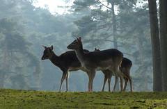 Naturwildpark Granat - Falow Deer - Damherten (joeke pieters) Tags: germany deutschland wildlife ngc npc fallowdeer damhirsch duitsland damadama damhert platinumheartaward 1200157 naturwildparkgranat panasonicdmcfz150
