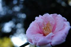 20150201 Oike Park 1 (BONGURI) Tags: park pink nikon pistil petal camellia  aichi  tokai              d3s      afszoomnikkor2470mmf28ged oikepark