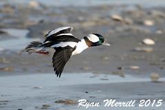 Bufflehead (rjm284) Tags: male birds ma massachusetts birding buff mass bufflehead reverebeach rjm284