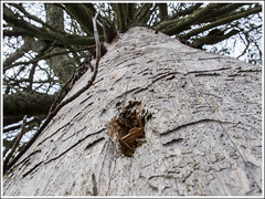 20150214. Tree. 6390 (Tiina Gill (busy)) Tags: tree nature dead branch hole fir dried estoni