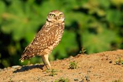 Standing Tall (Dave Miller Photography) Tags: birds wildlife birding burrowingowl