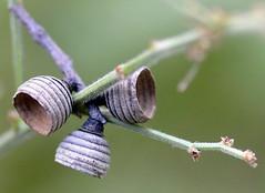 _DSC0179 (aeschylus18917) Tags: nature japan tokyo seed acorn   nerima nerimaku  shakujikoen cupule    shakujipark  danielruyle aeschylus18917 danruyle druyle   shakujiiken