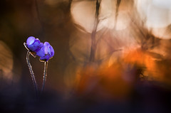 Hepatica nobilis (MichaSauer) Tags: flowers sunset macro spring bokeh f45 makro sonnenaufgang frhling hepaticanobilis sigma150 frhblher leberblmchen hpatique leverbloempje