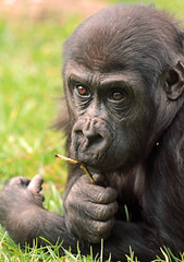 gorilla Burgerszoo JN6A6549 (j.a.kok) Tags: gorilla burgerszoo westernlowlandgorilla lowlandgorilla laaglandgorilla westelijkelaaglandgorilla