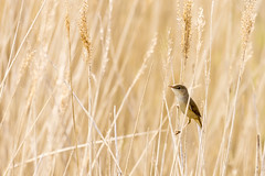 Reed warbler (128/366) (AdaMoorePhotography) Tags: wild england bird reed nature reeds nikon natural wildlife marsh essex marshes rainham rspb 366 reedwarbler 200500mm rainhammarshes d7200