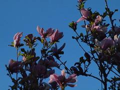 spte Magnolie (bratispixl) Tags: nature germany jahreszeit oberbayern mai frhling baumblte magnolie chiemgau spt traunreut blattfarben stadtrundweg bratispixl