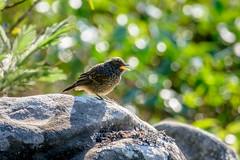 Pied Bushchat (juvenile) (Nagesh Kamath) Tags: birding juvenile munnar clubmahindra muscicapidae piedbushchat saxicolacaprata nikond600 iucnlc nikon80400mmf4556d clubmahindramunnar