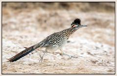 Greater Roadrunner (Ed Sivon) Tags: park vegas wild sun southwest bird nature america canon lasvegas wildlife nevada american clark western nevadadesert clarkcounty