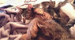 Like Cat and Dog (Monaggio) Tags: dog pets cute cat sleep dachshund perro gato animales teckel compaia duerme