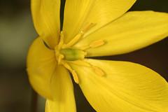 Yellow tulip (Veit Schagow) Tags: yellow gelb tulip tulpe