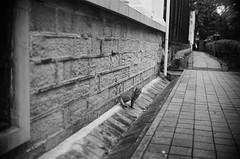 Leica_m_BW_5936_SK40F19_Cat (OPTIK AXIS) Tags: camera leica blackandwhite film cat taiwan monochromatic 135      rf xenon  leicacamera schneiderkreuznach   blackandwhitefilm   ilfordpan400    analoguephotography schneideroptics  mp85 40mmf19    garylevel schneiderkreuznachxenon11940 modifiedtoleicammount