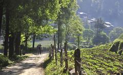Morning walk in Barot (mala singh) Tags: morning trees india mountains village path himachal