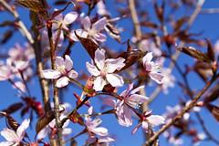 Blossoms (ri Sa) Tags: sky tree finland helsinki blossoms