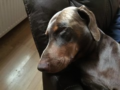 Sofa So Nice - Red / Brown and Tan Male Dobermann Pinscher Zeus (firehouse.ie) Tags: boy red brown male tan zeus doberman dobie pinscher dobe dobermann dobies dobermans dobes pinschers dobermanns redandtan