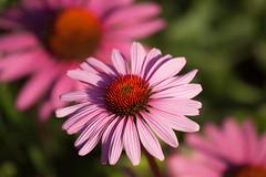 Island Mainau Bodensee (JF-Foto) Tags: pink flower macro nature germany outdoor pflanze blume bodensee muster mainau schrfentiefe bltenblatt heiter organische