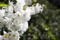 Invisible bee (helganovelli) Tags: white tree green primavera nature insect relax whiteflower fly spring blossom bokeh fresh bee bloom abeja cherrytree abeille cerisier biene shallowdepthoffield cerezo kirschbaum vitality tinyworld helganovelli