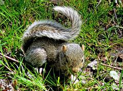 IMG_5373 (claywakening) Tags: babysquirrel