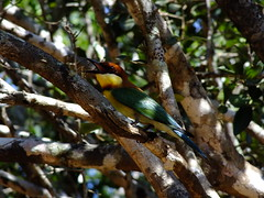 Chestnut Headed Bee Eater #1 (lostforideas) Tags: nationalpark chestnut srilanka colourful headed yala beeeater