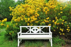Doppelherz (akaceweha) Tags: park white nature yellow heart natur pflanze bank gelb rhododendron herz weis