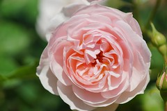 "ばら(薔薇)/Rosa sp. (nobuflickr) Tags: flower heritage nature rose japan botanical kyoto 薔薇 ""the garden"" ばら thekyotobotanicalgarden rosasp ヘリテージ バラ科バラ属 20160518dsc09478"