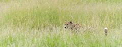 aware (charlesgyoung) Tags: africa tanzania nikon safari cheetah d3 serengetinationalpark wildlifephotography charlesyoung nikonfx nomadtanzania karineaignerphotographyexpedition