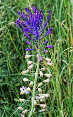 Muscari comosum 160617A (Landfotograf) Tags: hyazinthe traubenhyazinthe naturdenkmal trockenrasen tattendorf muscaricomosum