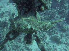 FrogFish (AZDropTop) Tags: scuba diving